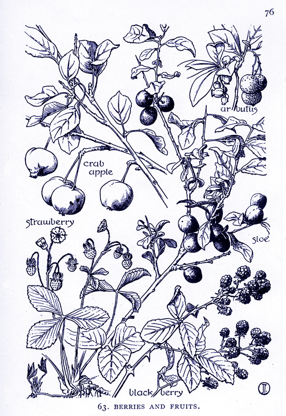 berries & fruits illustration